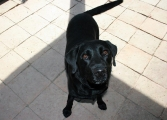 brave Labradordame Kira