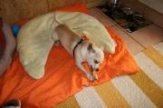 Chihuahua-Rüde_Sami