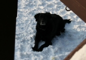Flat Coated Retriever Huendin Sheila