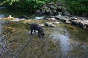 Freundlicher und aufgeweckter Labradorrüde Rox kleiner