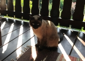 Hübsches Siam-Mädchen Luna