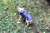 lieber Chihuahuarüde Brutus (2)