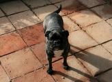 Süßes Franz. Bulldoggen Mädchen  Fee (3) kleiner