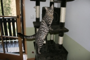 verschmuste Bengal-BKH Mix Katzenmädchen Nura