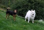 zwei tolle Hunde - Mischlindsruede Pauli und Jap Kleinspitz Ruede Stanley