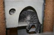 Britisch Kurzhaar Katze Lina in Unrlaubsentspannung kleiner
