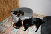 Chihuahua - Mädchen Lilli und Schocki