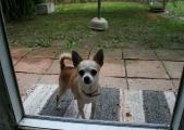 freundlicher Chihuahuarüde Charly kleiner