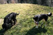 Freundliches Hundepärchen Huskyrüde Ice und Gordon Setter Dame Emma_kleiner