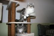 ganz liebe und verschmuste Norwegeische Waldkatzen Damen Sophi und Isabella (2)
