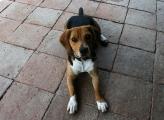 ganz lieber Beagle Rüde Snoopy kleiner