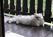 gemütlicher Perserkater Sammy