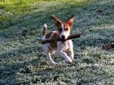 Gute Laune auf vier Pfoten - BeagleMix Hündin Stella mit 6 Monaten kleiner