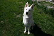 Junger Weißer Schäferhund Rüde Eiko