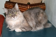 Maine_Coon_Francis