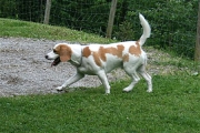 spike_beagle