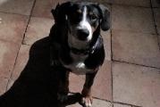 süßer Entlebucher Sennenhund Monty mit 5 Monaten