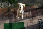 toller Labradorrüde Scooby