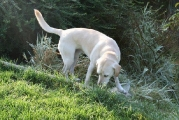 verschmuste Labradormischlingshündin Luna